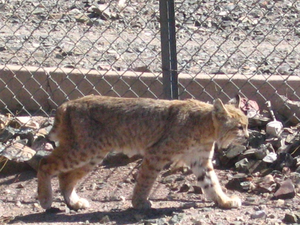 Bobcat in Arizona