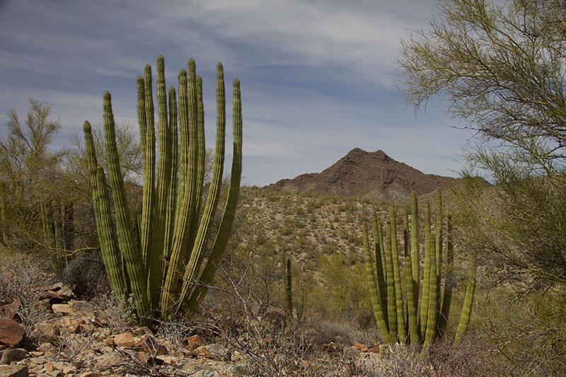 Organ Pipe Cactus-small