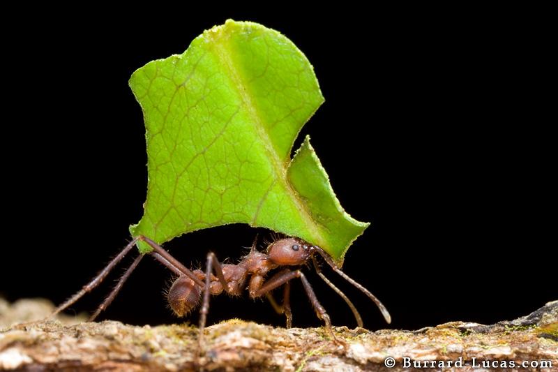 ant cutter